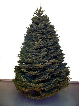 Nobel Fir Christmas Tree